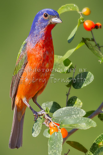 Painted Bunting on Sprig