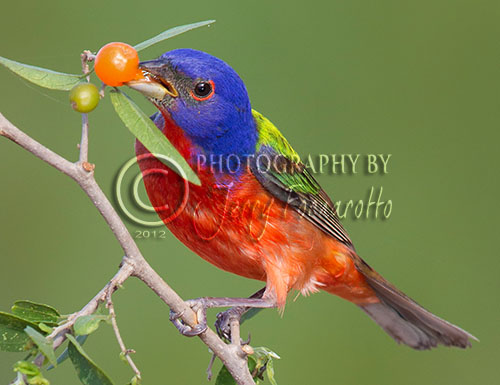 I think the male Painted Bunting is the most beautiful bird found in North America. they are a member of the Cardinal family. They can be found in Arizona, New Mexico, Texas, Okahoma, Arkansas, Lousiana, Florida, Georgia, South Carolina and Mexico.