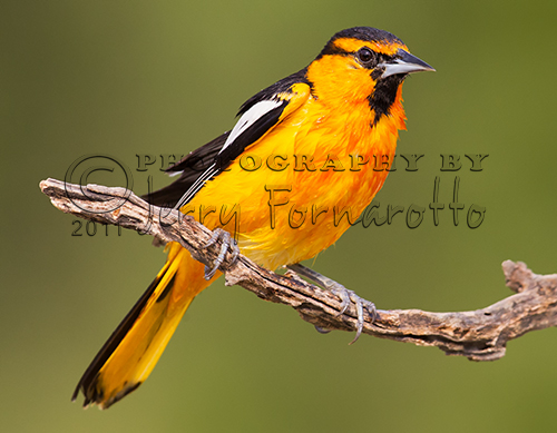 A photo of the brightly colored male Bullock's Oriole. They can be found throughout western North America.