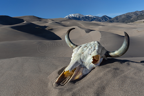 A cattle skull bleached in the sun at the Great Sand Dunes National Park and Preserve.