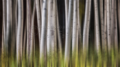 A creatively proceesed image of Aspen trees.