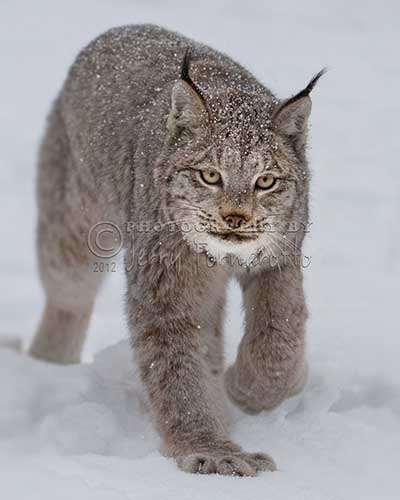 Lynx Bigfoot