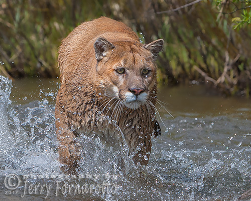 Mountain Lion running in Stream