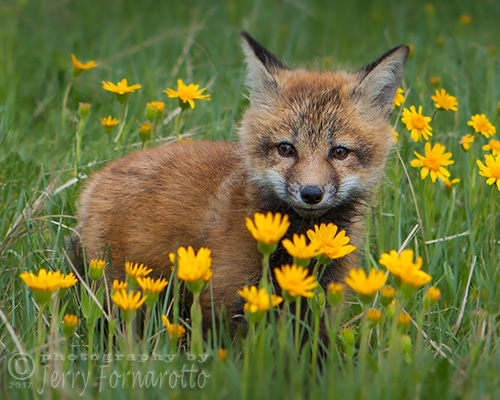 Fox Kit with Yellow Flowers