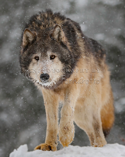 Wolf in Snowstorm