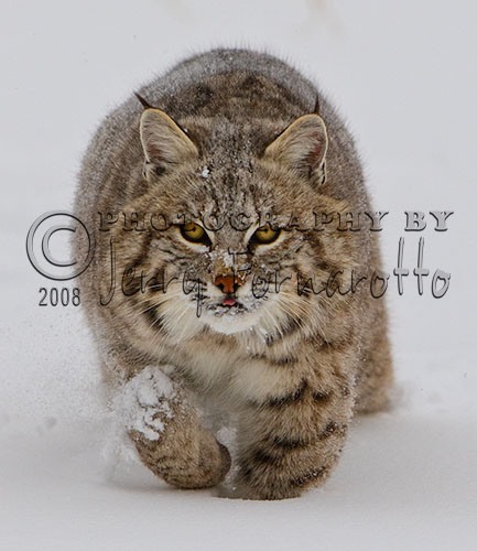 Bobcat Running Forward