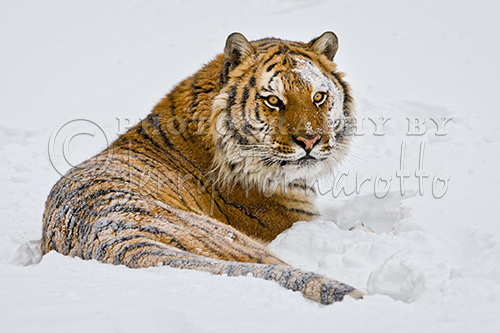 Siberian Tiger at Rest