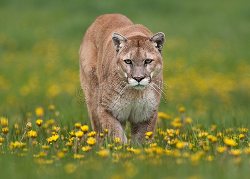 Mountain lion walking thought a field of arrowroot.