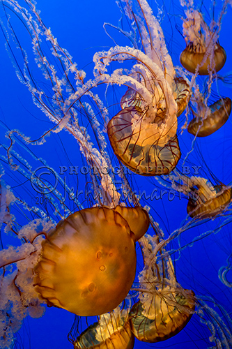 The Pacific Sea Nettle's body or bell is yellow to reddish-brown, and the long, ruffled tentacles can be yellow to dark maroon. The bell can grow to 30 inches wide and tentacles can reach 16 feet.