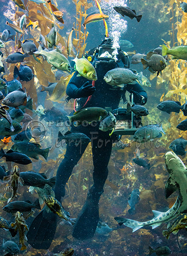 A diver at the Monterey Bay Aquarium hand feeding the creatures in the Kelp Forest Exhibit.