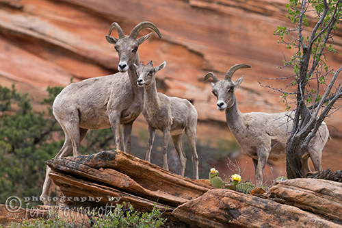 Female Big Horn Sheep with juvenile.