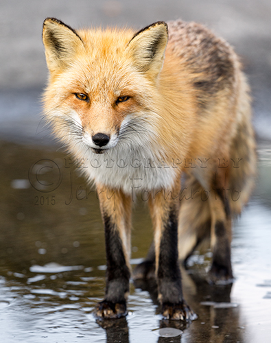 Red Fox Face to Face