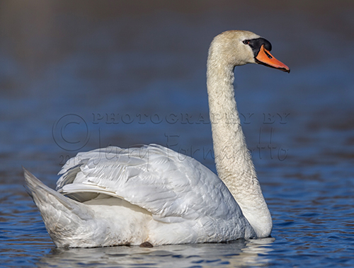 Photos of the elegant Mute Swan.