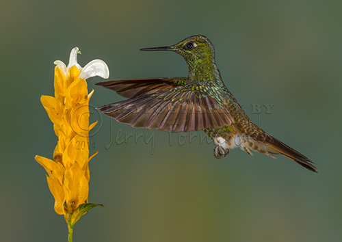 The buff-tailed Coronet Hummingbird can be found in Colombia, Ecuador and Venezuela. They like the mid-level forest canopy and feed on nectar and insects.