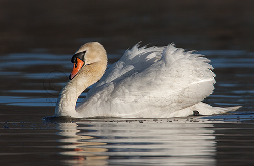 Mute Swans may hold their wings over their backs in a puffed up position to show their strength, and the neck may be held in a strong S-curve as an aggressive posture.
