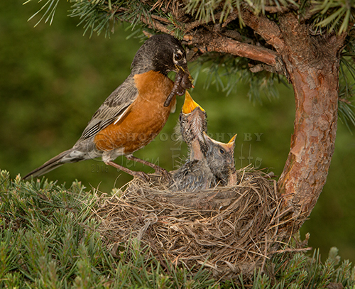 American Robins start reproducing from April to July. Nests are built by the female and are constructed with grass, twigs and mud. A clutch can consist from two to five light blue eggs. Both parents feed the chicks. The chicks diet includes worms, insects and berries. The young robins leave the nest in two weeks.