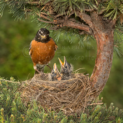 An american robin checking on its chicks.