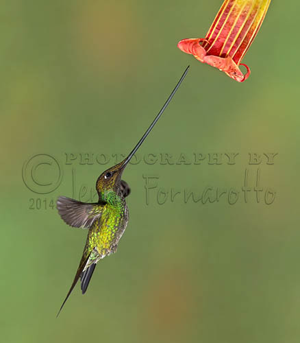 """The Sword-billed Hummingbird bill is 4"""" to 5"""" long. Their bill is longer than their body."""