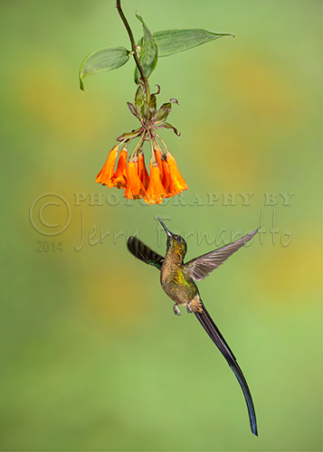 A photo of a Violet-tailed Sylph in flight. This hummingbird can be found in Colombia and Ecuador. The total length of the bird is 7 inches.