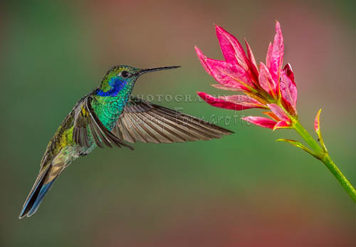 The Green Violetear Hummingbird can be found in the forest of Mexico to northern South America. This hummingbird is about four inches in length.