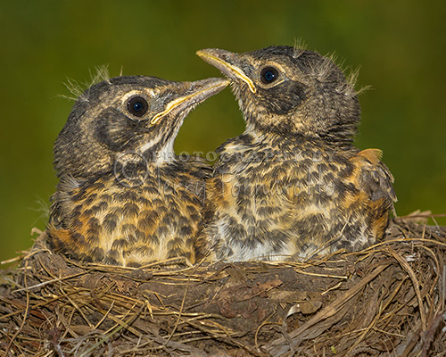 Robins Growing Out of Nest
