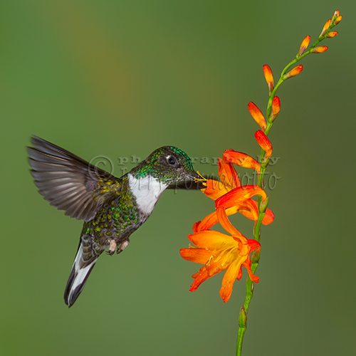 The collared inca hummingbird can be found in the Andean forests of Venezuela, Colombia, Ecuador, Peru and Bolivia.