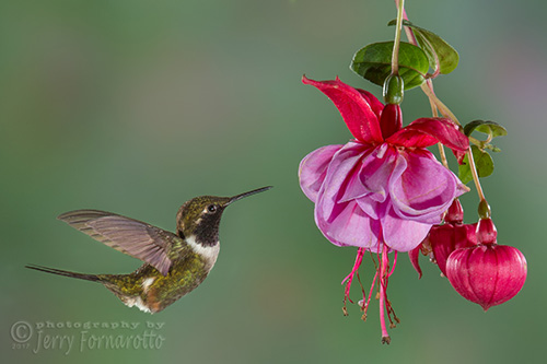 The purple-throated woodstar hummingbird is found in Colombia and Ecuador. This bird weights about 3 grams and is 7cm long.
