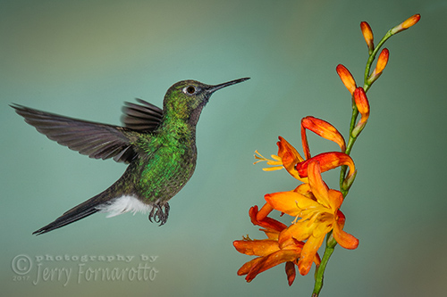 The Tourmaline Sunangel Hummingbird can be found in rainforest of Ecuador and Colombia.