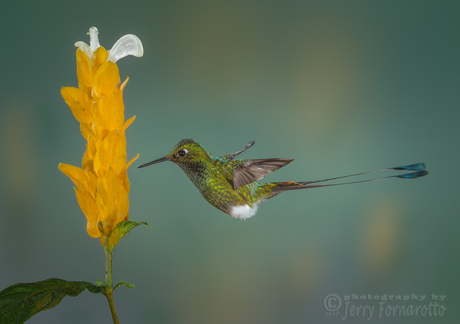 The Booted Rackettailed Hummingbird can be found in the Andean Mountain Range, which stretch through Bolivia, Colombia, Ecuador, Peru and Venezuela. Their unique tail is tipped with oval plums.