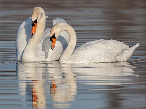 A pair of Mute Swans courting. Mute Swans were introduced to North America in the ninetieth century and are viewed as an invasive species.