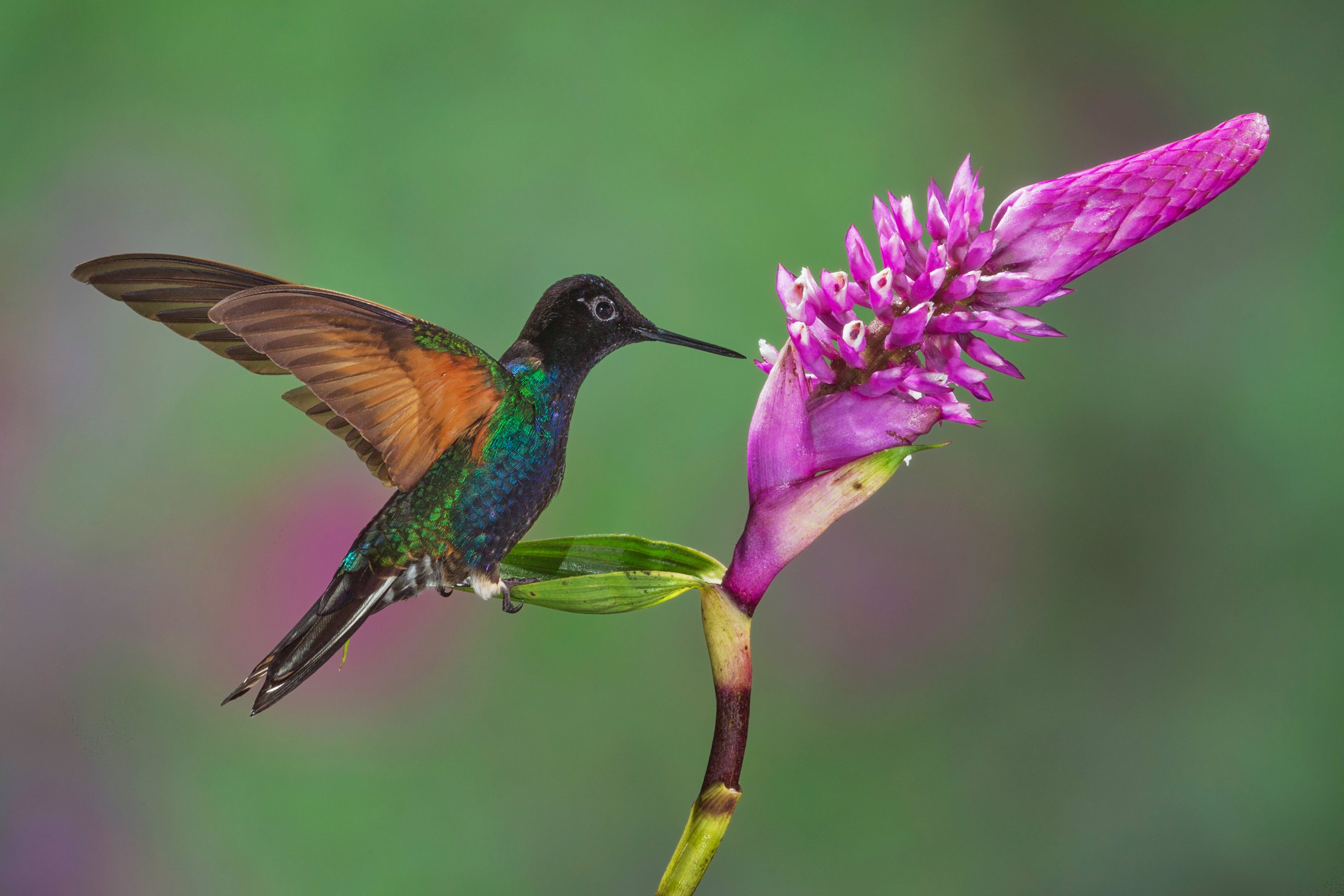 The Velvet-purple Coronet Hummingbird is found in humid foothill forest on the West Andean slope in western Colombia and north-western Ecuador.