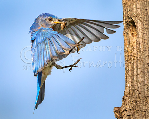 Male Bluebird Flying In