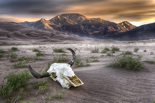 """Skull in the Desert"" Great Sand Dunes National Park, CO."