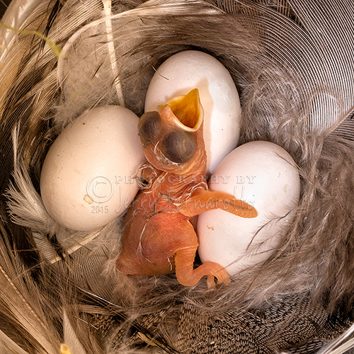 Macro photo of a minutes old Tree Swallow.