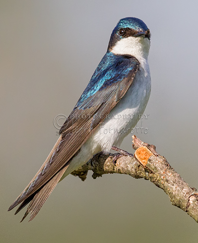 """""""Tree Swallow Perched"""""""
