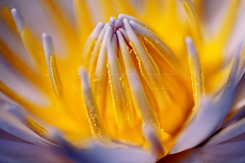 Water Lilies are beautiful and fragrant. Thier bloom last for only a few days.