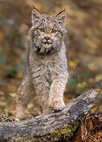 Lynx have a short tail, tufts of black hair on the tips of their ears, large padded paws for walking on snow and long whiskers on the face.