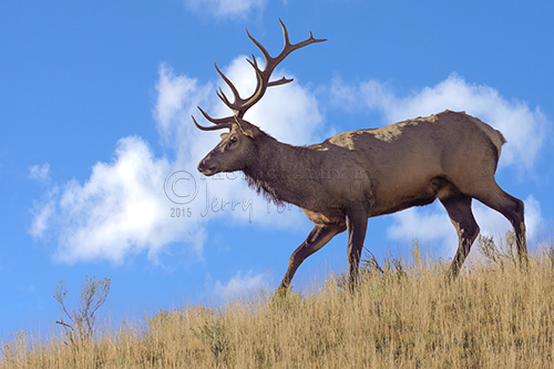 A bull elk walking along a ridge.