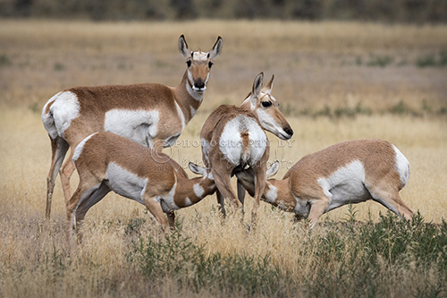 Wild pronghorn nursing its young.