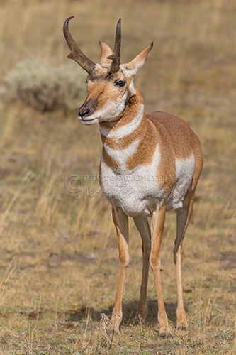 Pronghorn are the fastest mammal in North American. They can run at speeds close to sixty miles per hour.