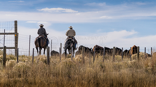 Cowboys driving cattle.