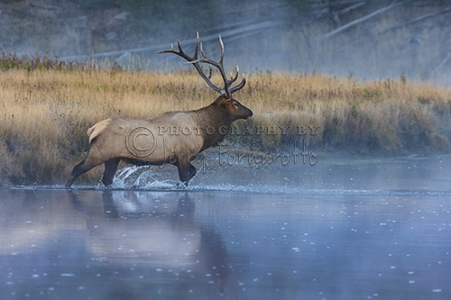 A bull elk crossing a misty Madison River in Yellowstone National Park.