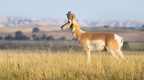 Pronghorn Buck overlooking his harem.