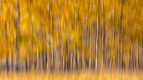 A creatively proceesed image of Aspen trees turned to a golden color.