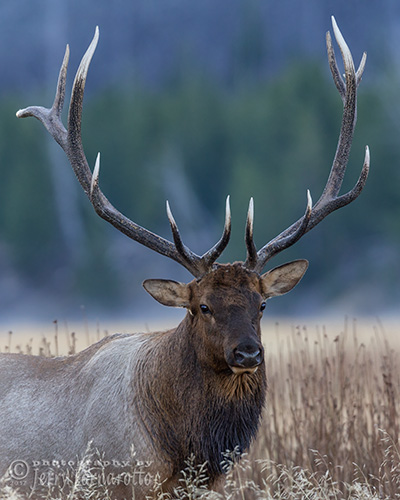 Elk with Polished Points