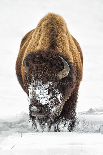 An American Bison searching for grass in the snow.