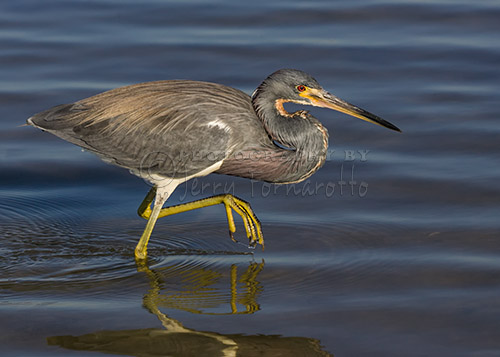 The Tricolored Heron is also know as the Louisiana Heron. This small heron can be found in sub-tropical swamps.