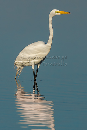 The Great Egret is also known as the Great White Heron. This bird stands 31/2 feet tall and has a wingspan of 67 inches. This image was captured with a Canon Mark II with a 600mm Canon L lens.