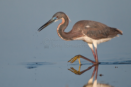Tricolored Heron Stepping