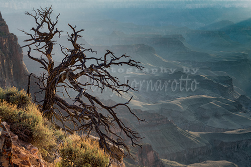 Tree at Lipan Overlook Grand Canyon